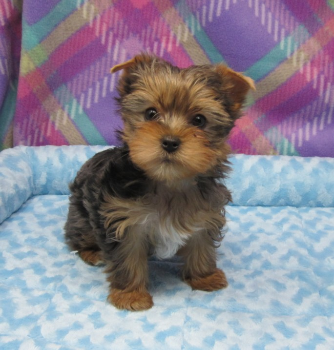 Sharmins-Pets-Yorkshire-Terriers Yorkie puppies for sale